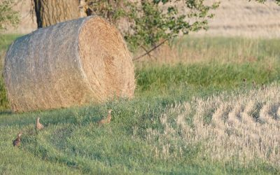 Pheasant Brood Counts – NDGNF – 09-15-2020