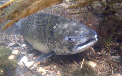 Salmon Spawning 2020 – NDGNF – 10-15-2020